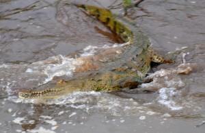 Croc_DSC_41852