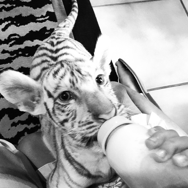 7 weeks old. This didn't help my baby fever AT ALL. #whitetiger
